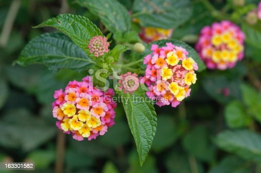 The flowers of the tropical plant Lantana camara, also known as Spanish Flag or West Indian Lantana. Mexico.
