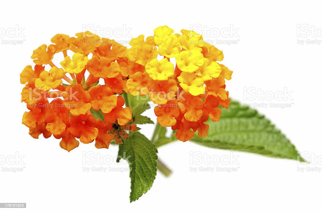 Lantana Flower over fresh green leaf stock photo