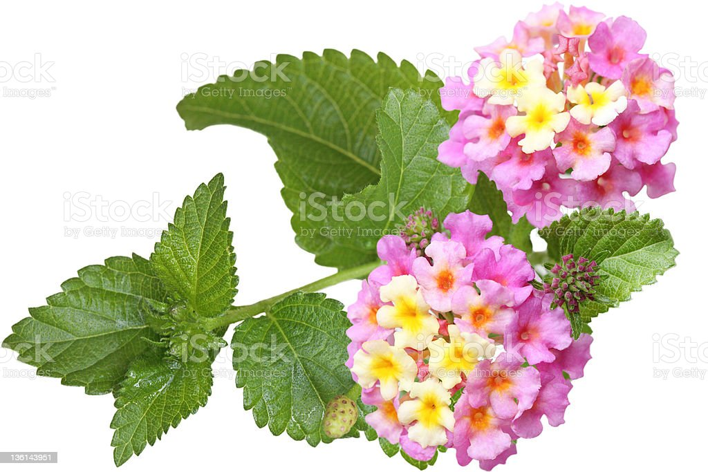 Lantana Flower stock photo