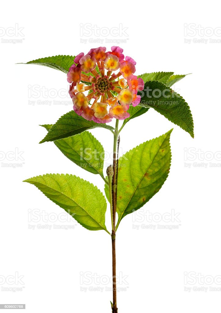 Lantana flower twig against white stock photo