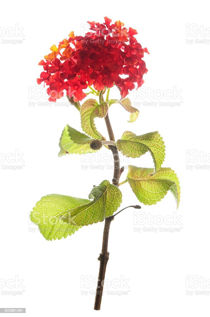 Lantana flower twig isolated stock photo