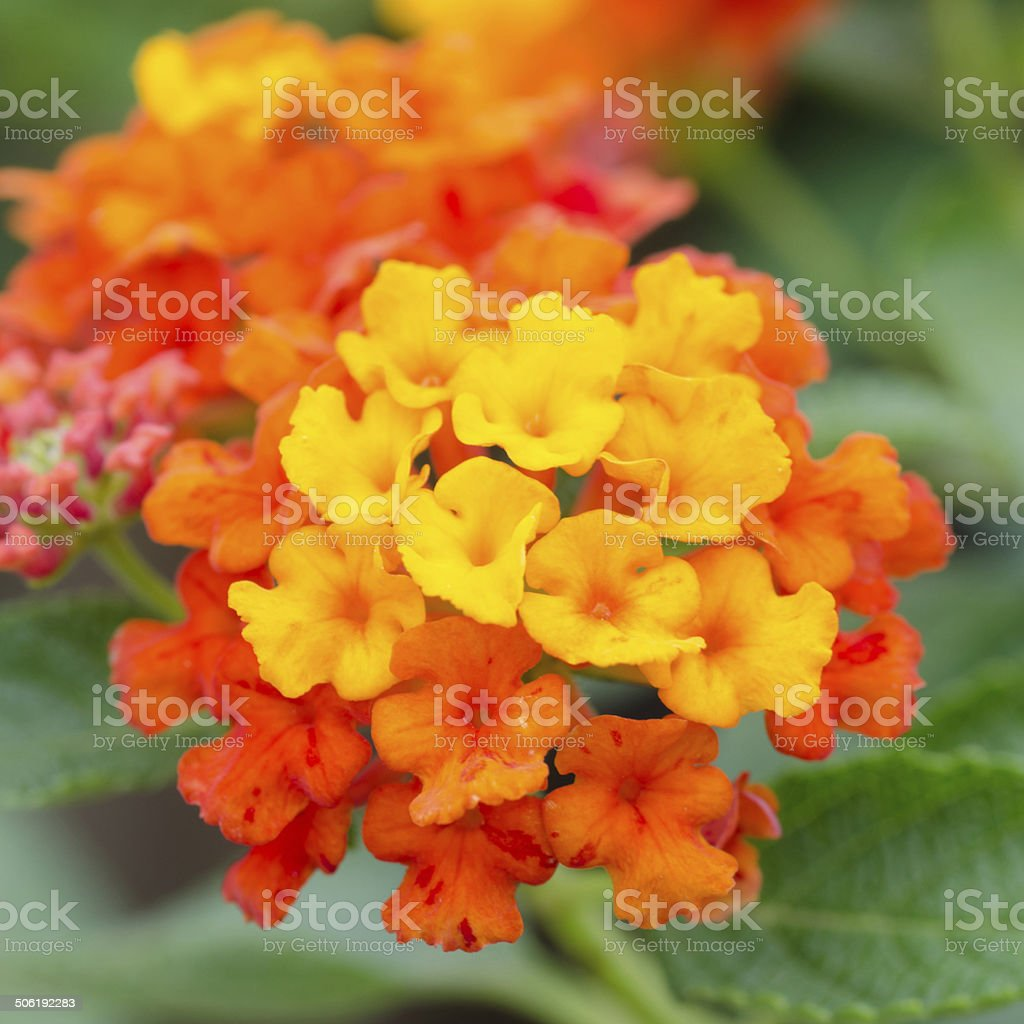 Lantana flowers stock photo