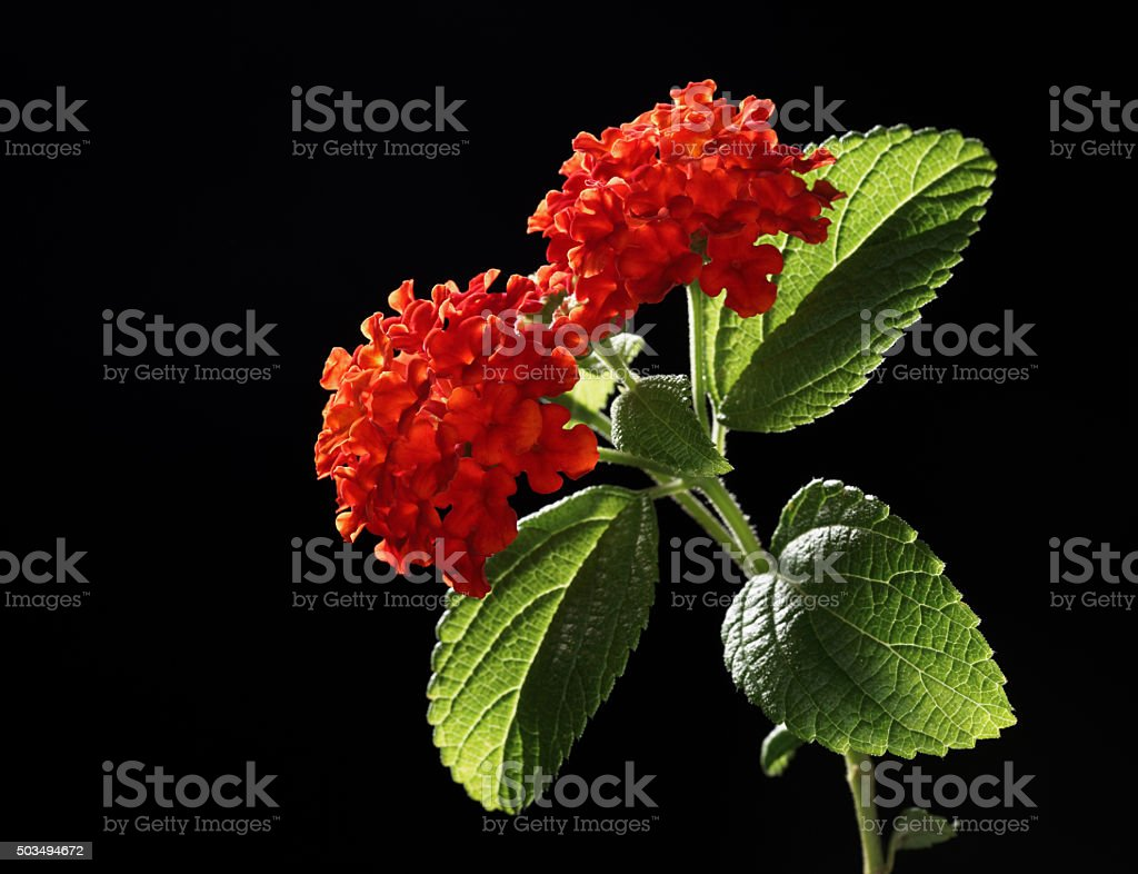 Lantana flowers twig isolated stock photo