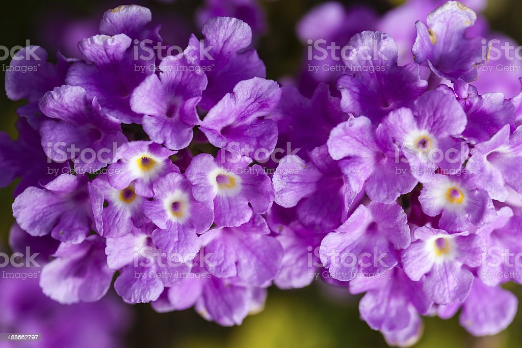 Lantana montevidensis stock photo