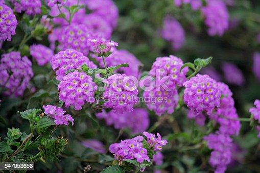 Trailing lantana, Weeping lantana, Creeping lantana, Lantana montevidensis, Verbenaceae