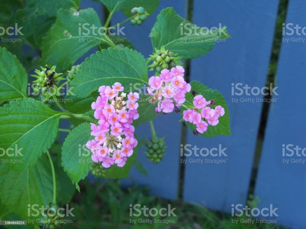 Lantana wildflowers and a blue fence stock photo