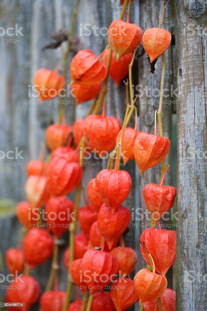 Lampionblume (Physalis alkekengi) stock photo