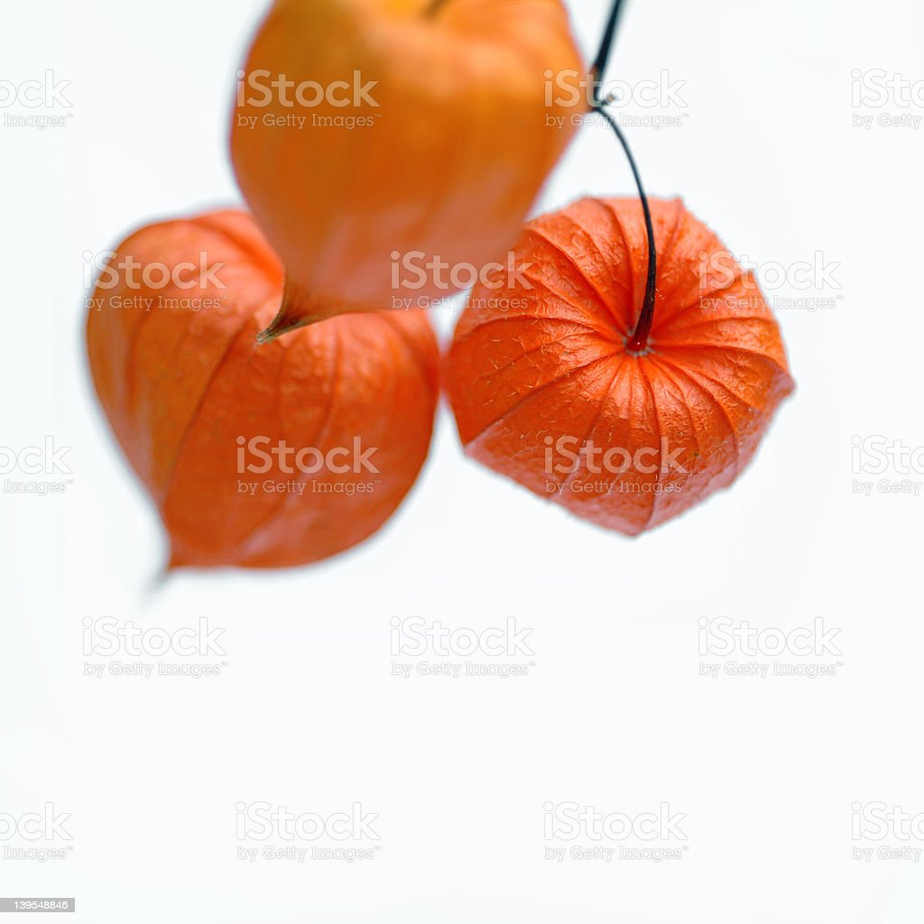 lantern flowers stock photo