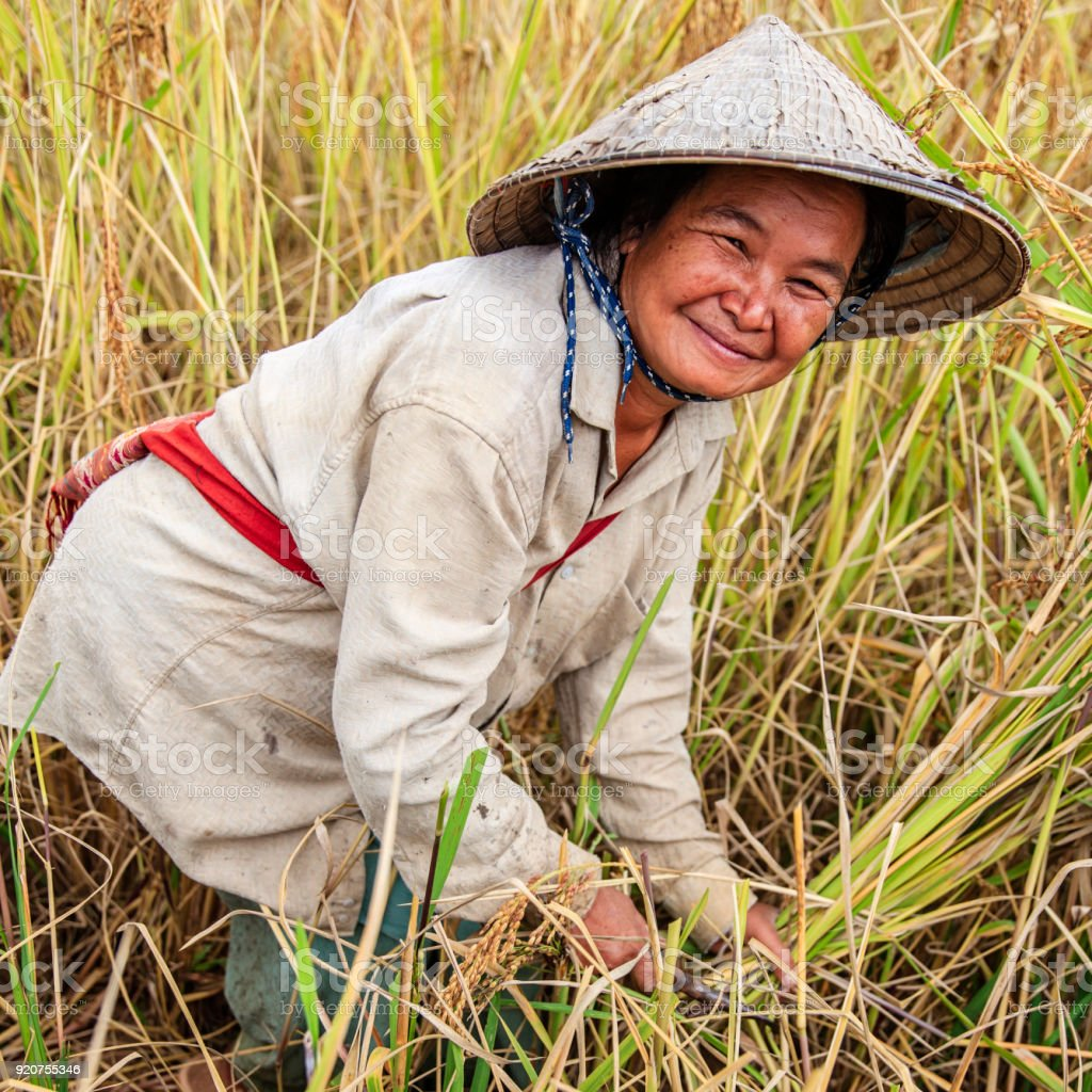 Laotian woman harvesting rice in Northern Laos stock photo