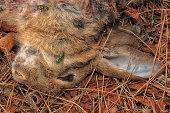 Lapin de garenne victime d'un prédateur