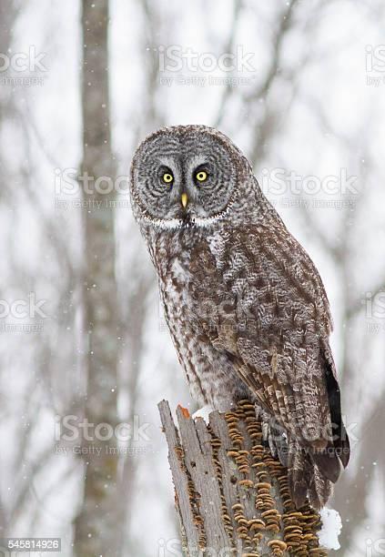Lapland owl or great grey owl picture id545814926?b=1&k=6&m=545814926&s=612x612&h=sv8fktdqdzitgszvvoapyhbtxslrr3t62lnxz st o4=
