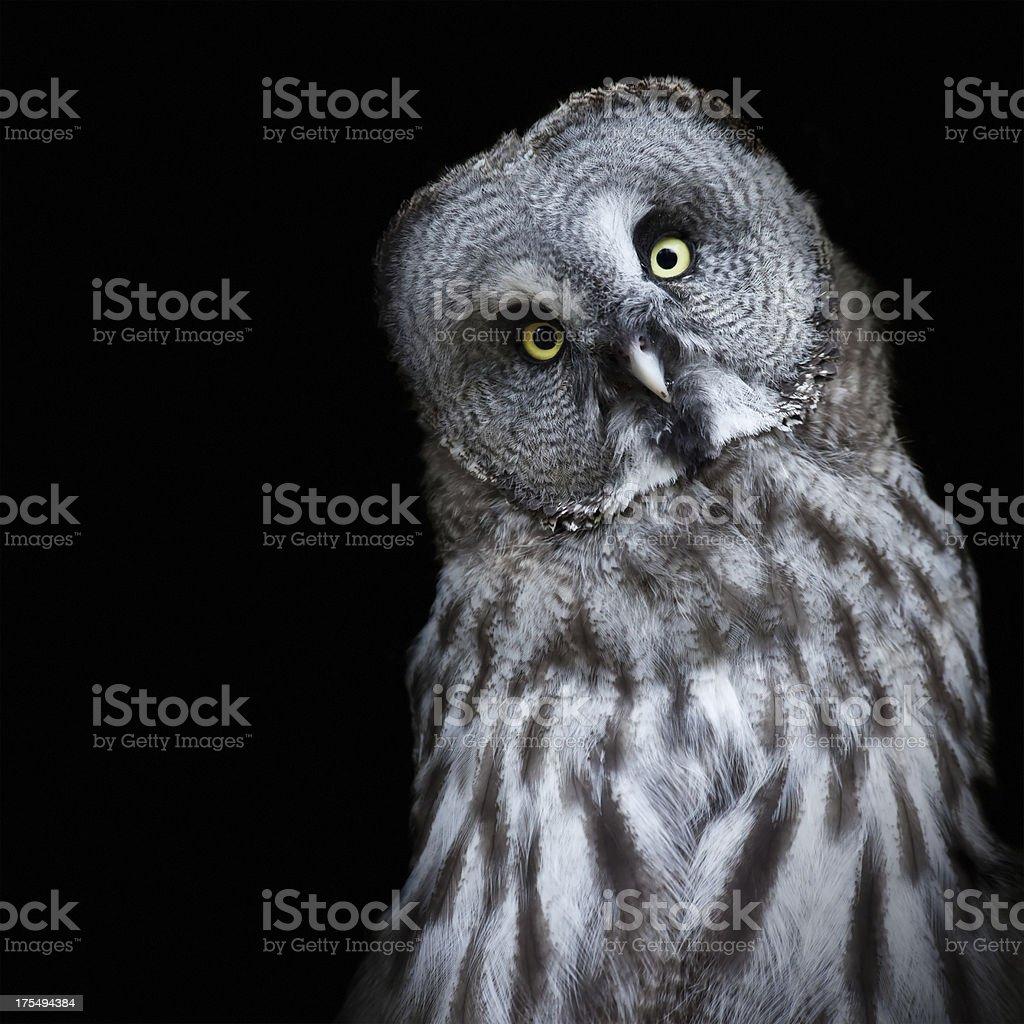 Lapland Owl stock photo