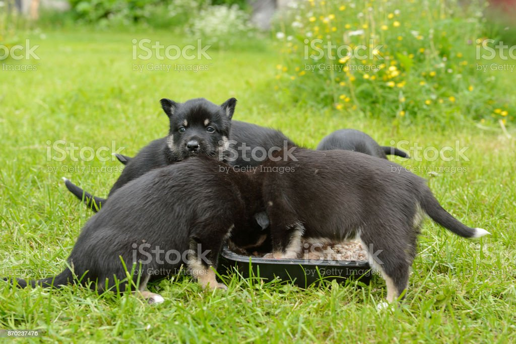 Lapland Reindeer dog. Puppies eat porridge stock photo