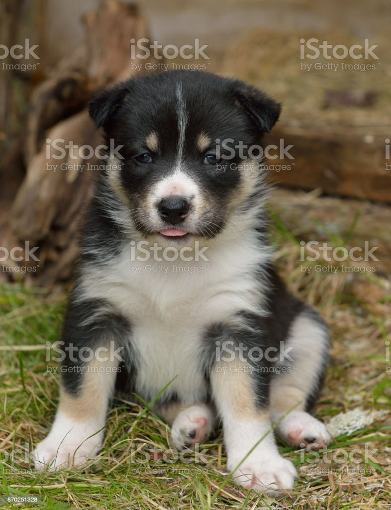 Lapland Reindeer dog, Reindeer Herder, lapinporokoira (Finnish), lapsk vallhund (Swedish). Little cute puppy stock photo