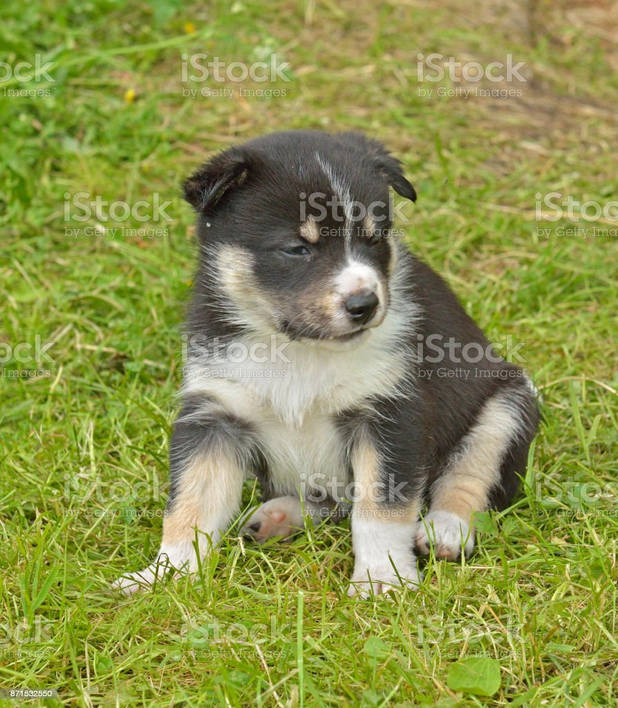 Lapland Reindeer dog, Reindeer Herder, lapinporokoira (Finnish), lapsk vallhund (Swedish). Little funny puppy wants to sleep stock photo