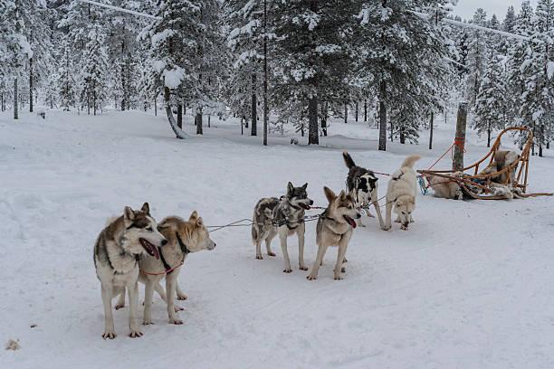 Lapponia (Finlandia). Cani da slitta si è pronti per andare - foto stock