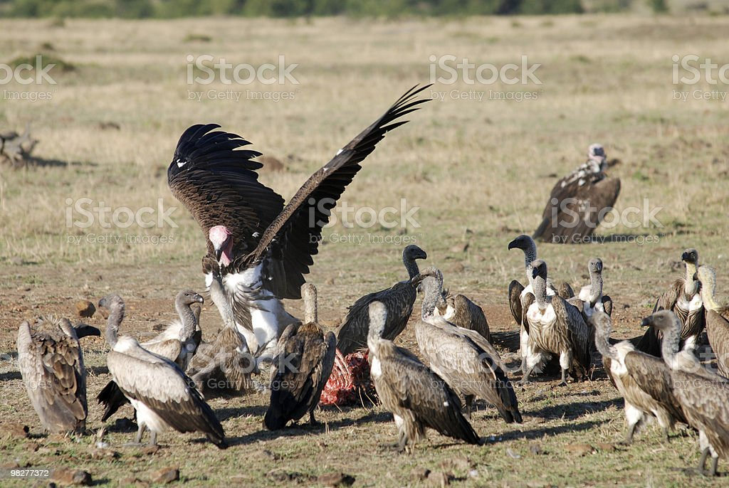 Lappet-faced vulture in conflinct for food royalty-free stock photo