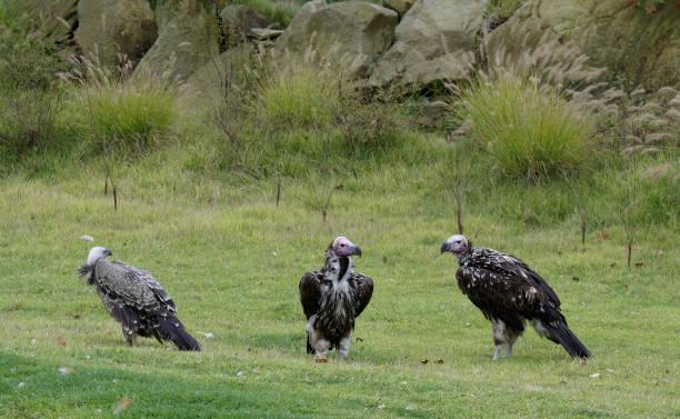 eikenblad-faced gieren - aas eten stockfoto's en -beelden