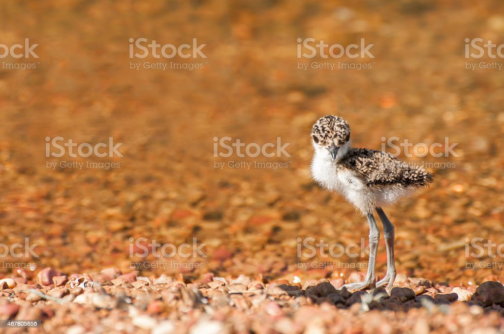 Lapwing Chick at Lake stock photo