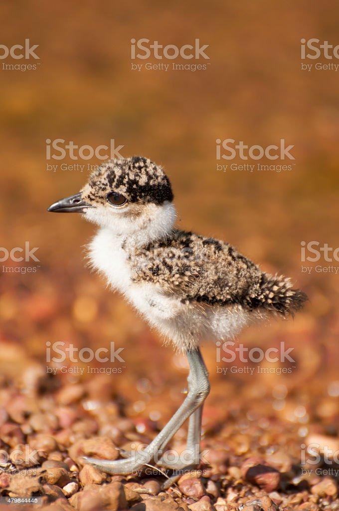 Lapwing Chick by Lake stock photo