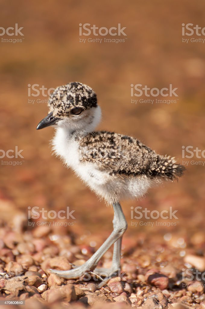 Lapwing chick on pebble beach by lake Victoria stock photo