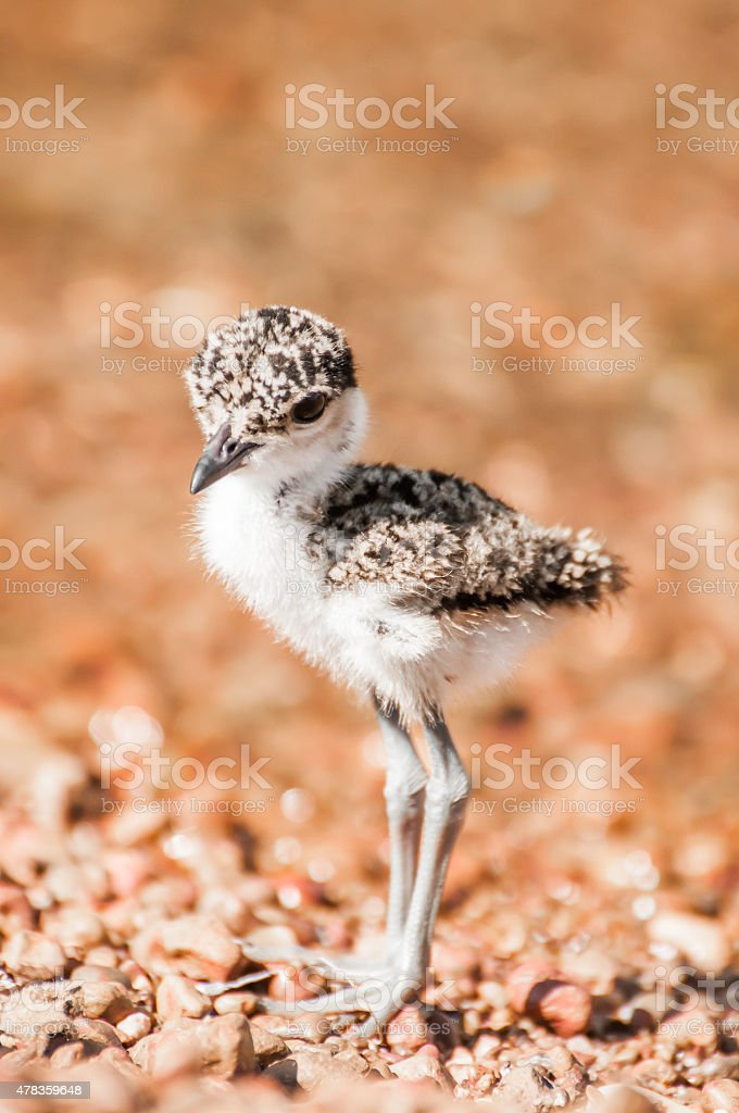 Lapwing Chick stock photo