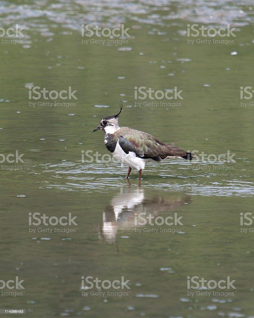 Lapwing (Vanellus-vanellus) royalty-free stock photo