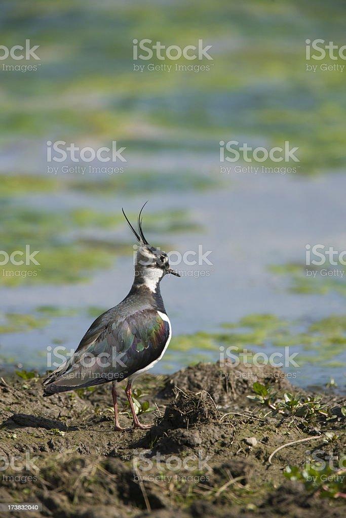 Lapwing (Vanellus-vanellus) stock photo