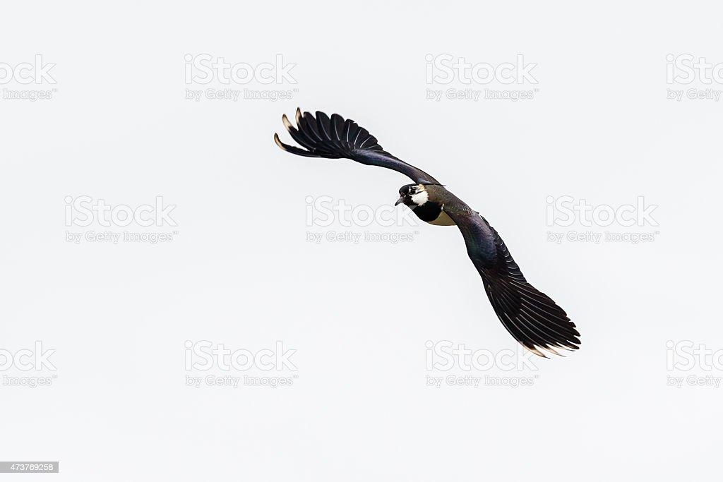Lapwing (Vanellus vanellus) stock photo