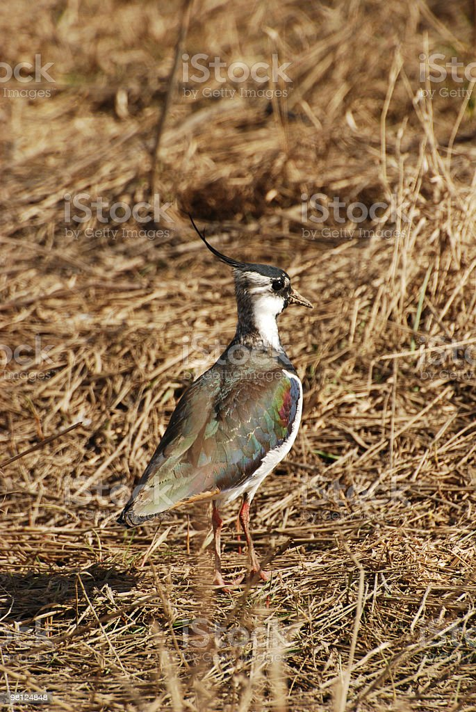 Plover foto stock royalty-free
