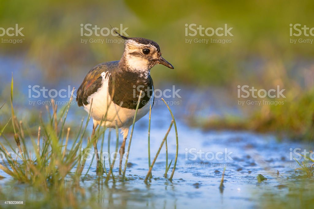 Lapwing wading in shallow water stock photo
