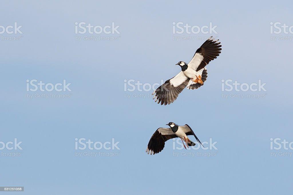 Lapwings in flight stock photo