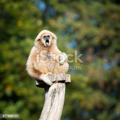 Lar Gibbon calling