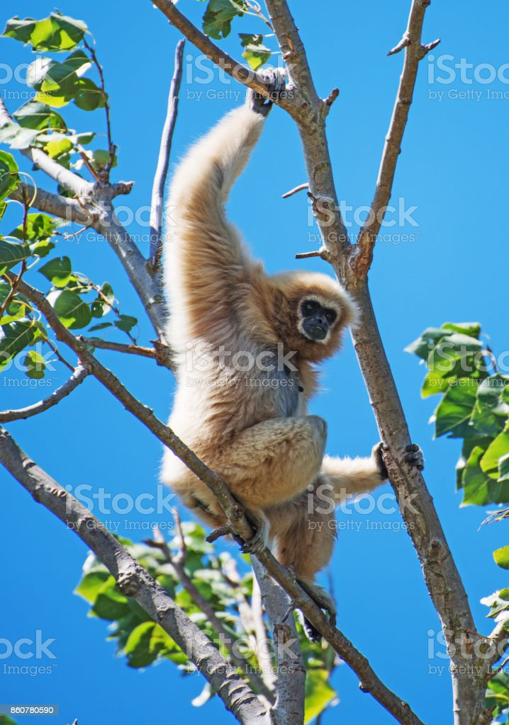 Lar gibbon on the tree. Hylobates lar. stock photo