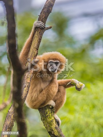 Lar gibbon (Hylobates lar), also known as the white-handed gibbon perched on branch in rainforest jungle