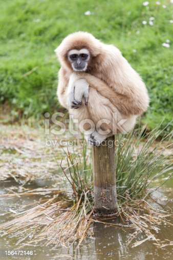 Lar gibbon (Hylobates lar) sitting on a pole. Can be as big as 50 cm and 5,5 kg. Lives in southeast asia. They are real acrobats and can leap to branches 10 m away!