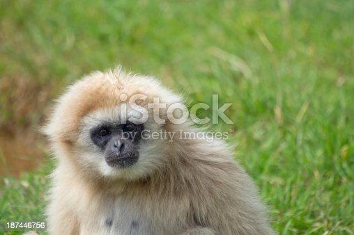 Lar or White handed gibbon looking at the camera