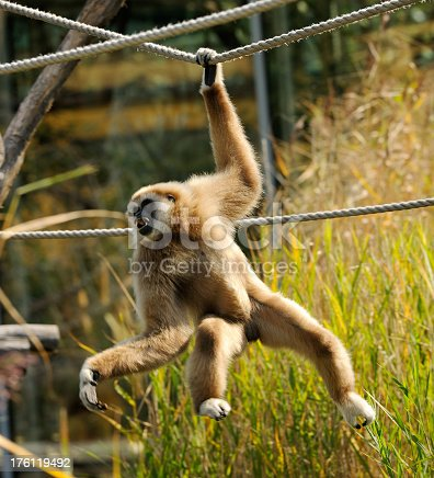 Lar Gibbon swinging on ropes.
