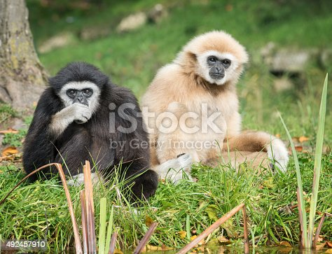Lar Gibbons resting in Wildlife observing the surrounding. Nikon D810. Converted from RAW. Asia.