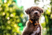 Portrait of curious Brown larador retriever puppy looking above against sunset foliage bokeh background wth copy space for text. Adorable mammal with collar. 2018 year of dog in Chinese.