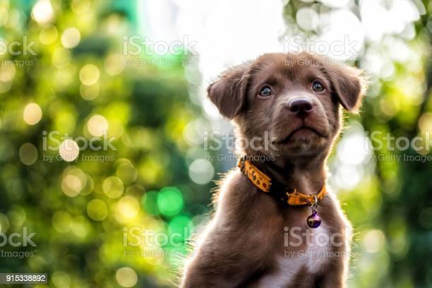 Larador puppy dog with bokeh background picture id915338892?b=1&k=6&m=915338892&s=612x612&h=uv781b4i4o4kxdegom53allg8bd9hox 9eyi1acb63o=