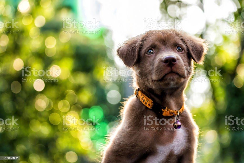 Larador Welpen Hund mit Bokeh Hintergrund – Foto