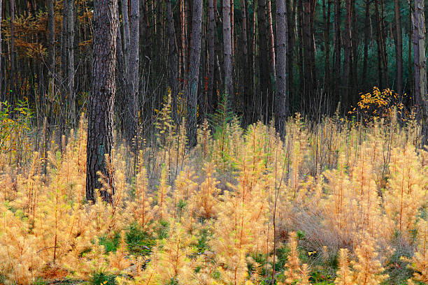 Larch autumn stock photo