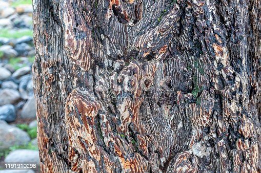 larch bark tree in the valley on Altai, Russia.