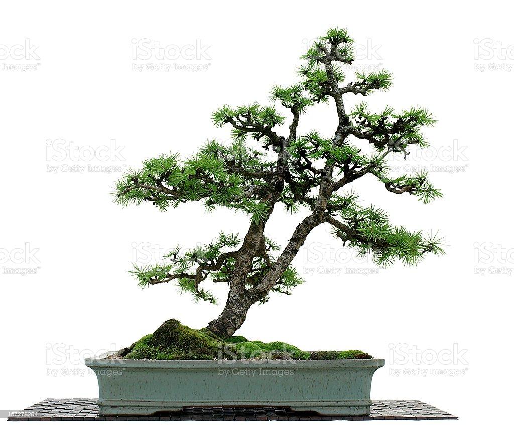 Larch Bonsai on White stock photo