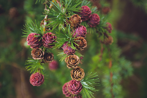 Larch branch with cones