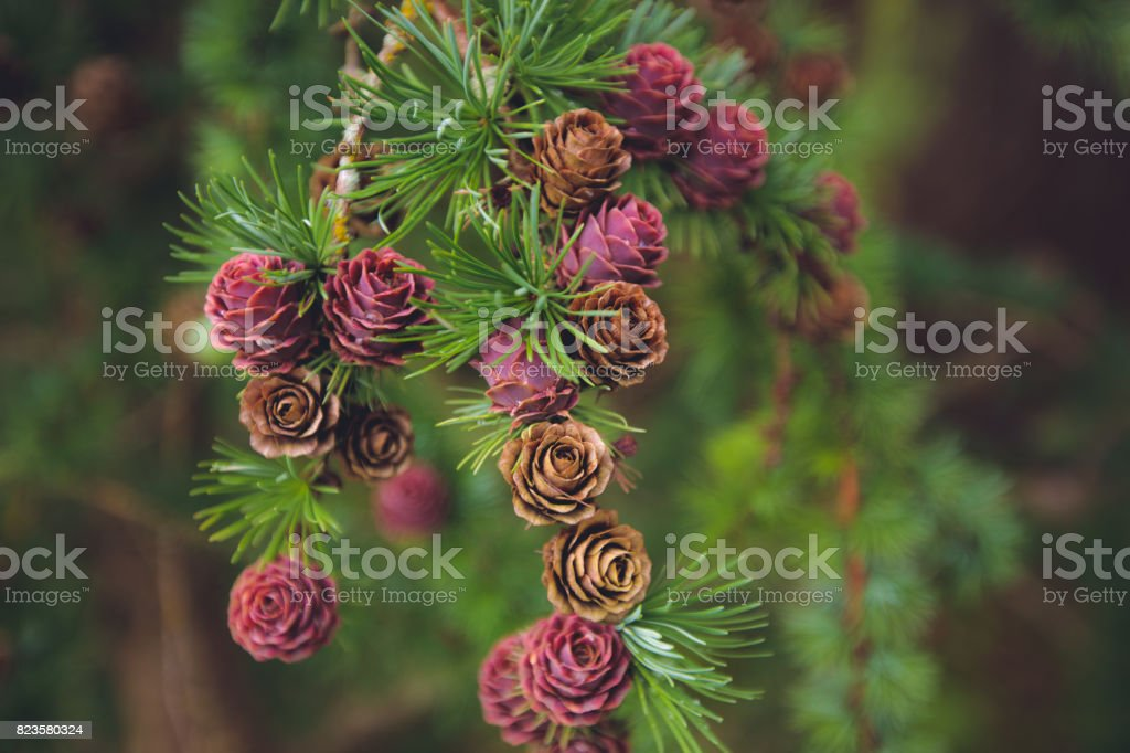 Larch branch with cones stock photo