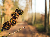 Larch Cones with forest path blurred in background