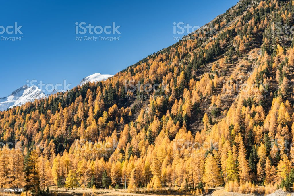 larch forest in the Engadin and snowy peaks behind stock photo
