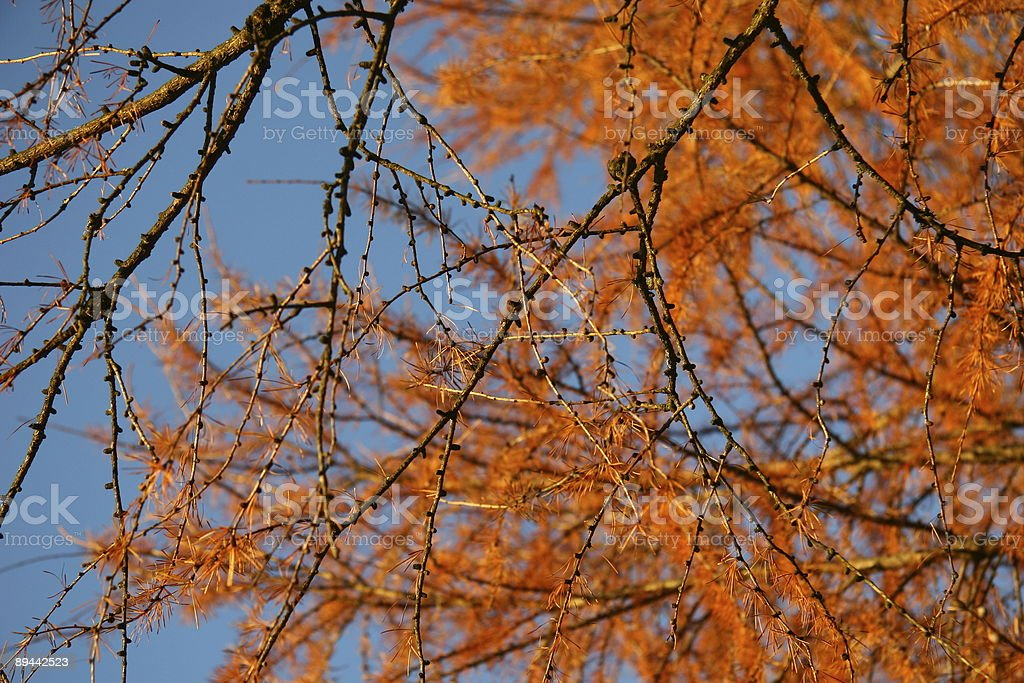 Larch royalty free stockfoto